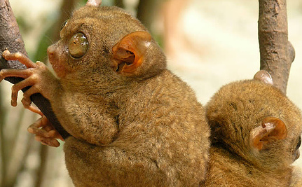 The Tiny, Ultrasonic Philippine Tarsier (Video)