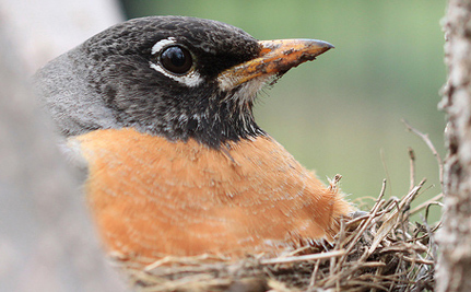 Are Songbirds Faithful To Their Mates, Or Do They Fool Around?