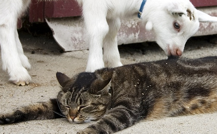 Baby Goat Meets Tashi, a Very Special Cat (Video)