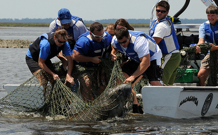 SeaWorld Released Two Rescued Manatees (Video)