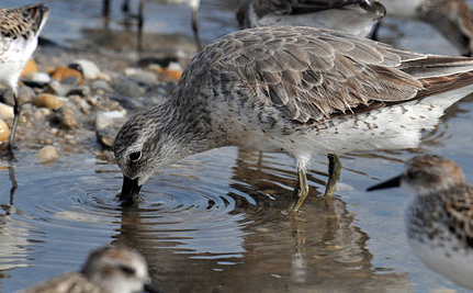 Eating 'Magic Mud' Is Key To Canadian Shorebird Survival