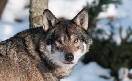 Oregon Cattleman's Association Pushes Wolf-Killing Legislation