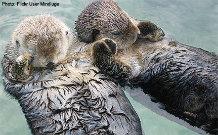Sea Otters at Center of National Policy Debate