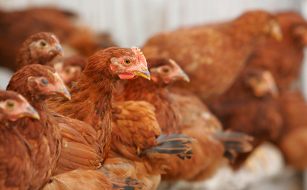 Nearly 50,000 Hens Abandoned at Farm