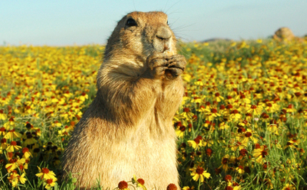 Prairie Dog's Prayers Are Answered