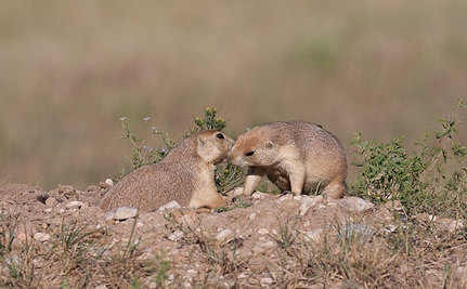 Private Landowners May Be Forced to Kill Prairie Dogs