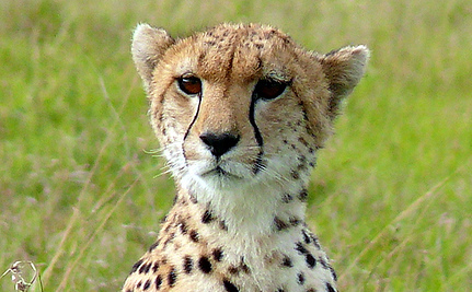 Is Global Warming Affecting the Cheetah's Ability to Reproduce?