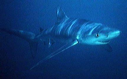 Blue Shark Numbers Plummet From Shark Fin Soup Demand