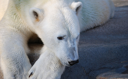 Save Yupi: Polar Bear Suffering in Mexican Zoo