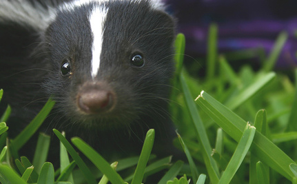 Big Stink Over Plans to Kill Skunks in Windsor