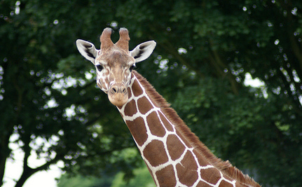 Take Action: Giraffe Death Reveals Horrors At Surabaya Zoo