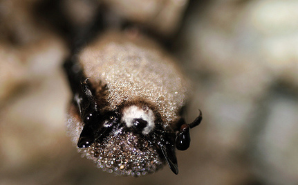 White Nose Syndrome Reaches Alabama