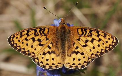 Mild Winter, Early Spring: Bad News for Butterflies and Bees