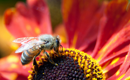 Study Links Honey Bee Deaths to Corn Insecticide