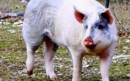 Jigsaw Escapes Hog Farm: Video of Him Eating Peanuts at Sanctuary