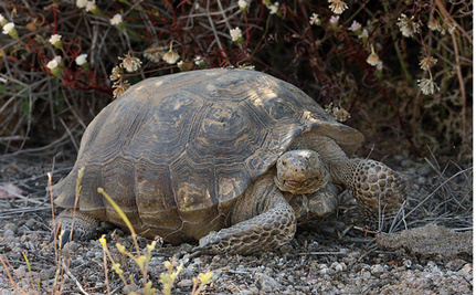 Desert Tortoise Vs. Solar Energy: Which Side Will Win?