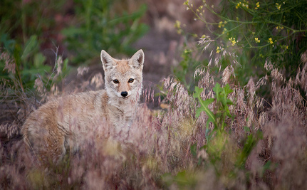 Utah Doubles Bounty for Coyotes