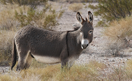 Texas Suspends Wild Burro Killing Policy