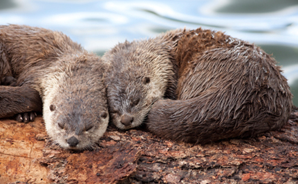 Activist Spotlight: Paul Yoxon Befriends Otters Around the World