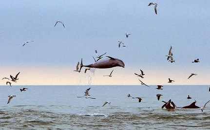 Save Dolphins From Fishing Nets