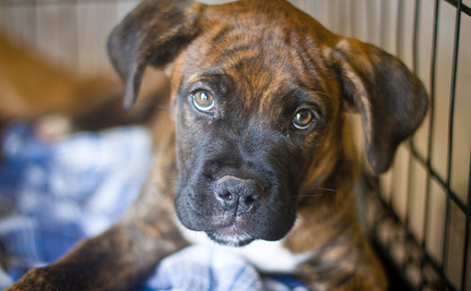 NIH Phasing Out Class B Dealers, Pets Still Need Our Help