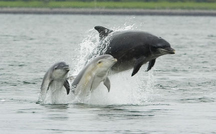 Dolphins Exposed to Oil Se