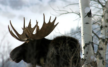 Annual Hunt Allowed Despite Declining Moose Population
