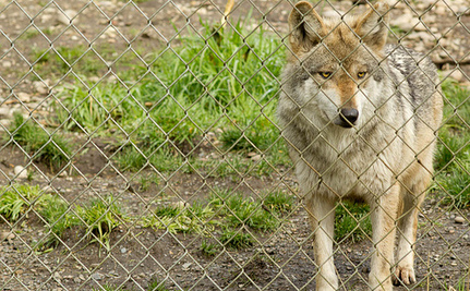 Tell the FWS to Release More Mexican Gray Wolves Before It's Too Late