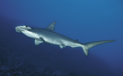 Newly Discovered Shark Species Already Endangered