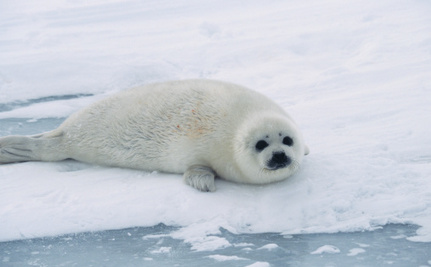 Shocking Facts About Canada's Annual Seal Slaughter