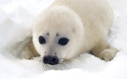Activist Spotlight: Devon Kiley Protects Canada's Seals