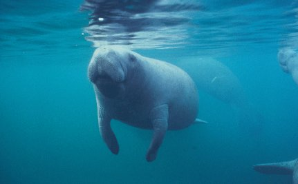 King's Bay Manatee Refuge Established
