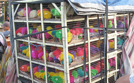 Not In My Easter Basket: Dyeing Chicks Should Be Banned