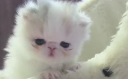 Marshmallow, The Tiny Kitten That Could (Video)