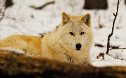 Wolf Torture and Execution Continues in the Northern Rockies