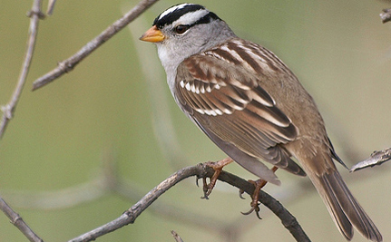 Sparrows Tweet Louder To Be Heard In Noisy Cities