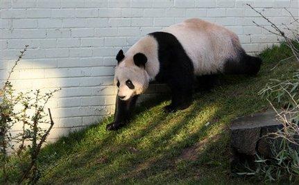 Awkward Panda Romance Ends Without Success