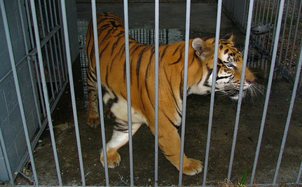 Battle to Free Truck Stop Tiger Continues