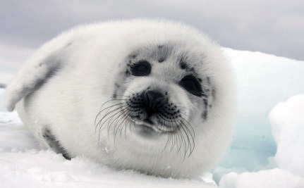 Brutal Seal Hunting Continues in Canada