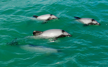 Help Save World's Most Endangered Dolphins