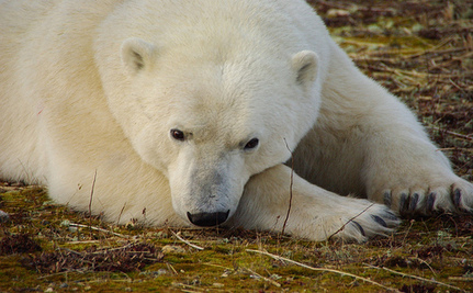 Could Zoos' Breeding Idea Be A 'Noah's Ark' For Polar Bears?