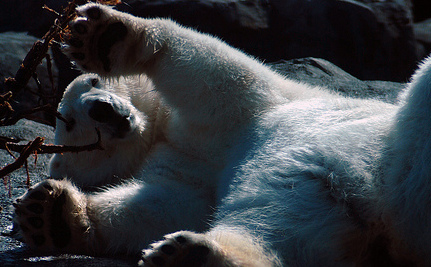 Alaskan Polar Bears Are Losing Their Fur: Why?