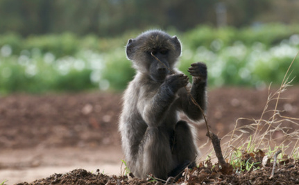 Baboons Impress Scientists with Word-Recognition Skills