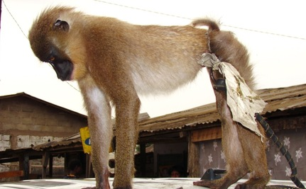 """Surfing"" Monkey Now Safe at Sanctuary & Ready to Play"