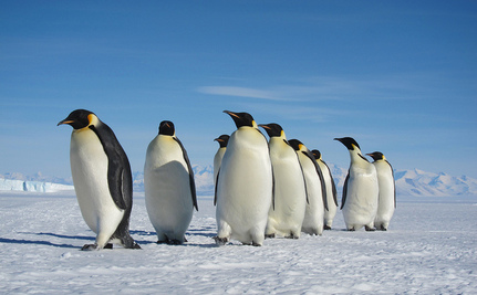 Spaced-Based Census Doubles Emperor Penguin Numbers