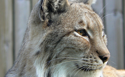 World's Most Endangered Cat Saved From Extinction? (Video)