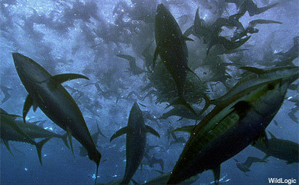 The Bottom Line: Bluefin Tuna Up Close and Personal
