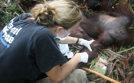 Miracle Rescue Of Orangutan Caught In Snare (Slideshow)