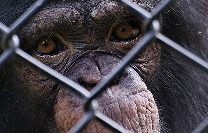 The U.S. May End Experiments on Chimpanzees