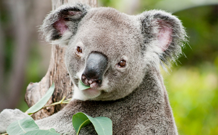 Success! Some Koala Populations Now Officially Protected in Australia